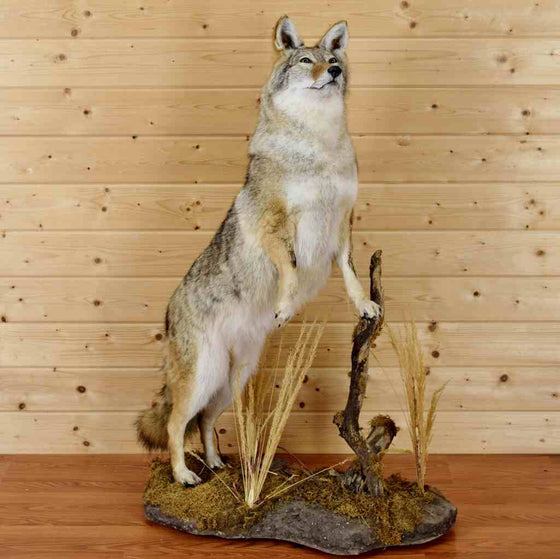 Coyote Taxidermy for Sale