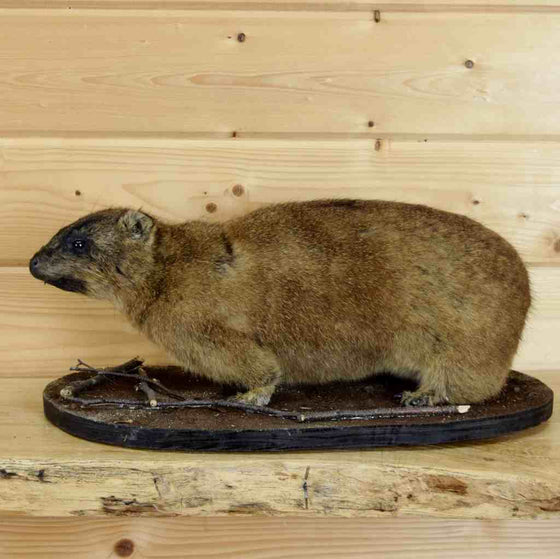 Rock Hyrax Mount