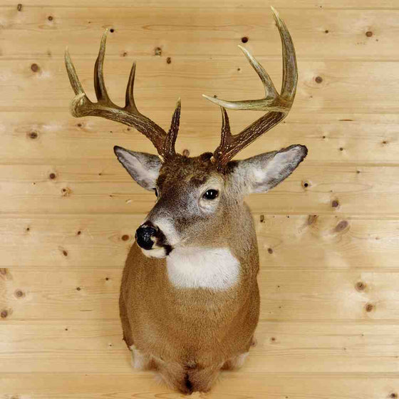 Whitetail Deer taxidermy mount for Sale