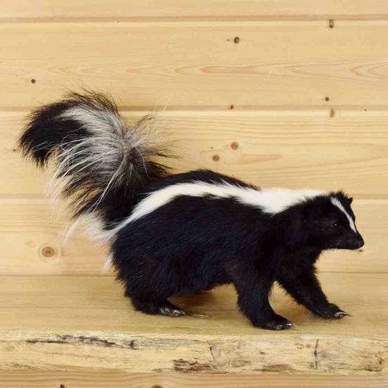 Skunks Taxidermy Mount
