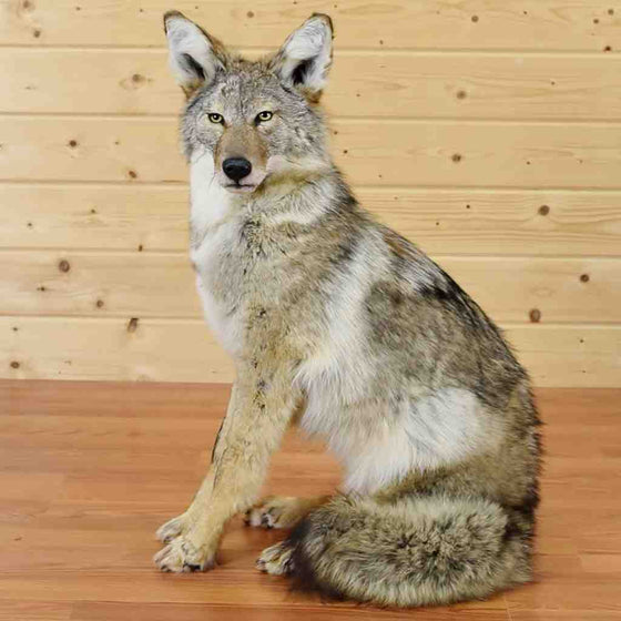 Coyote Taxidermy Mount for Sale