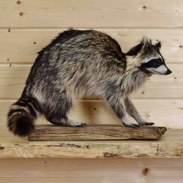 Walking Raccoon Taxidermy Mount Sw4085 For Sale At