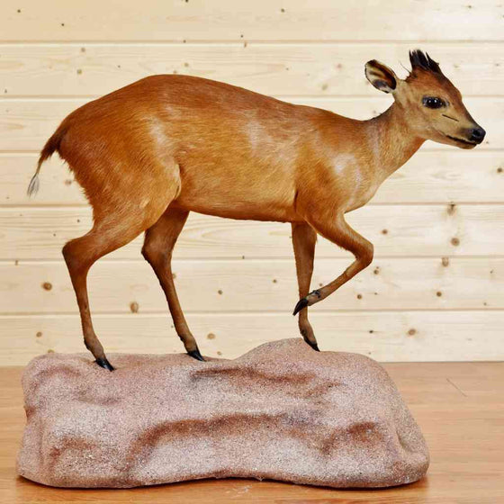 Red Duiker Taxidermy Mount