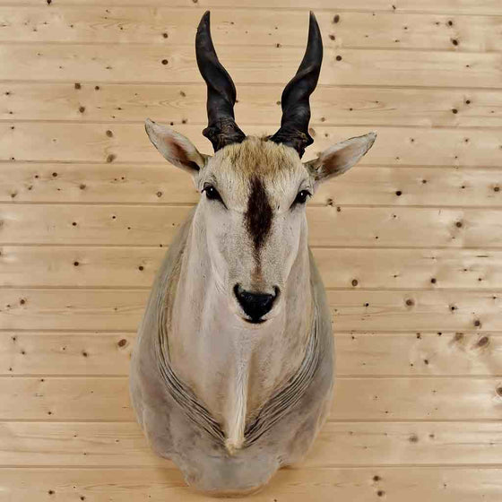 Taxidermy Eland For Sale