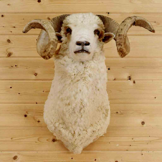 Barbarossa Sheep Taxidermy Mount