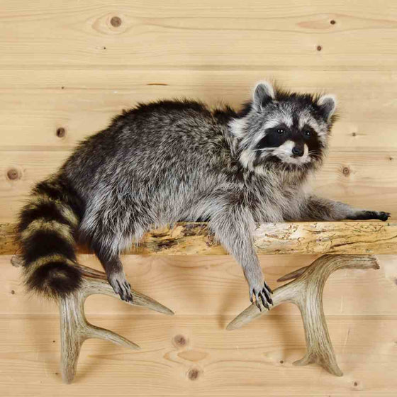 Raccoon Taxidermy for Sale #SW5819