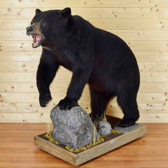 Black Bear Taxidermy Mount for Sale
