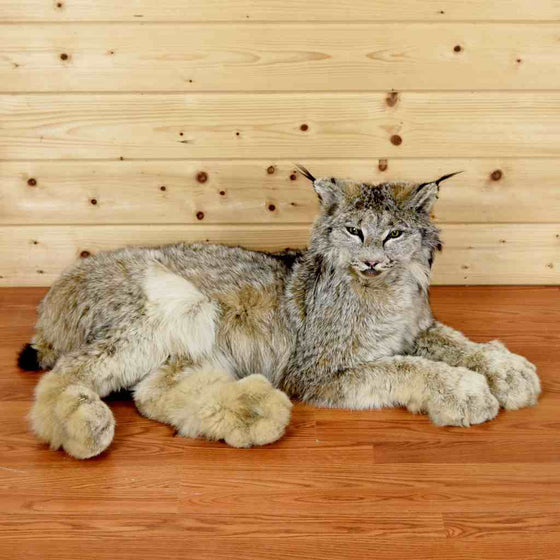 Lynx Taxidermy Mount for Sale