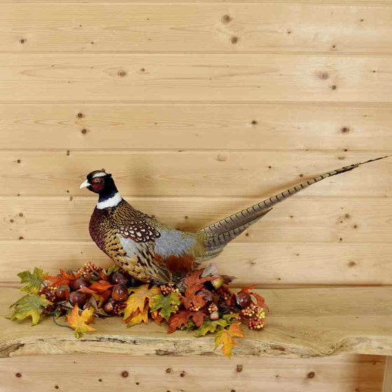 Ringneck Pheasant Full Body Taxidermy for Sale