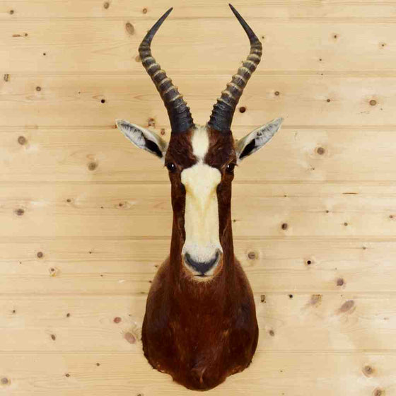 Blesbok Taxidermy Mount #5830 at Safariworks