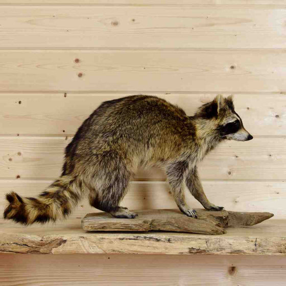 Walking Raccoon Taxidermy Mount