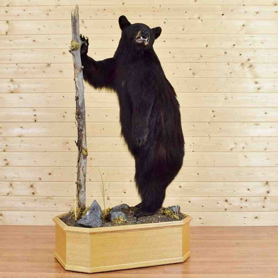 Black Bear Taxidermy for Sale