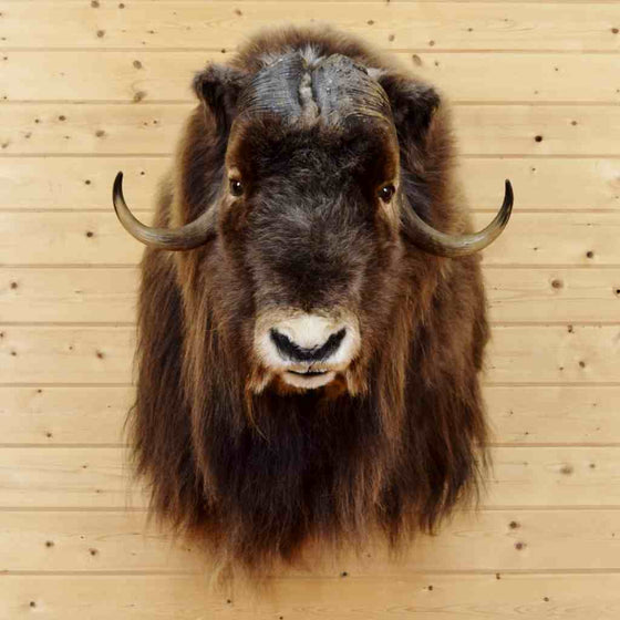 Muskox Taxidermy Mount for Sale