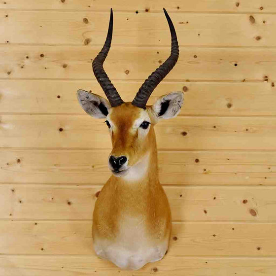 Kob antelope for sale