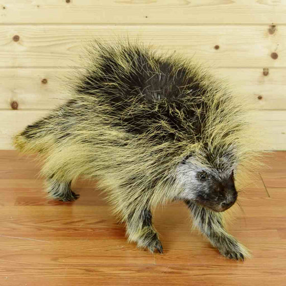 Porcupine Taxidermy Mount for Sale