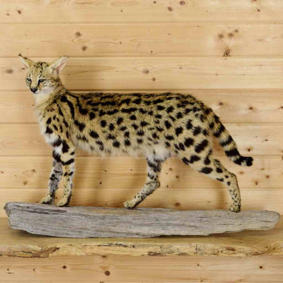 Serval Cat Taxidermy for Sale