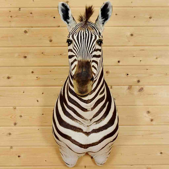 Zebra Taxidermy Mount for Sale