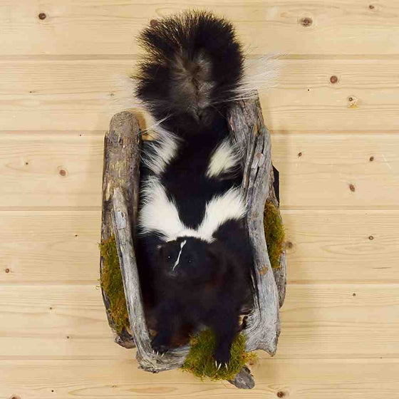 Skunk Taxidermy Mount SW5879