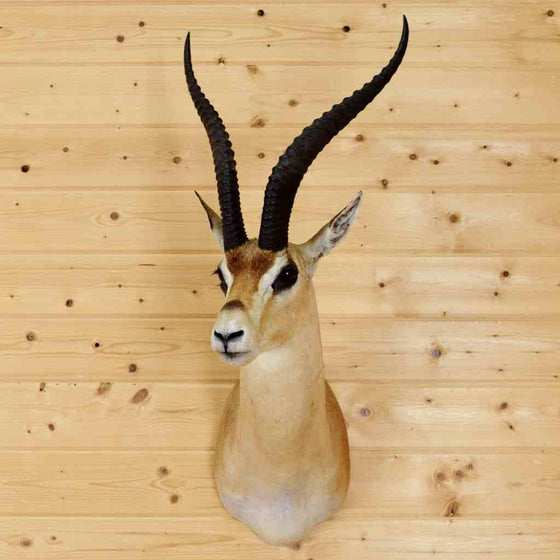Grant's Gazelle Taxidermy