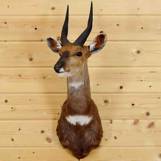 Bushbuck Mounts for Sale