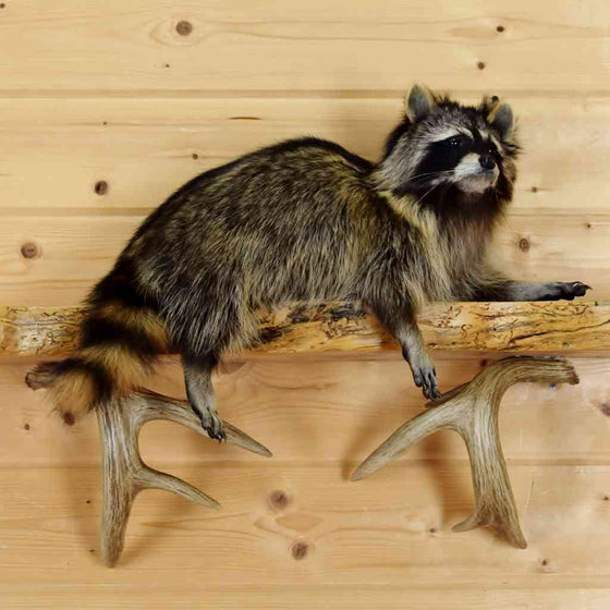 mantle raccoon mount