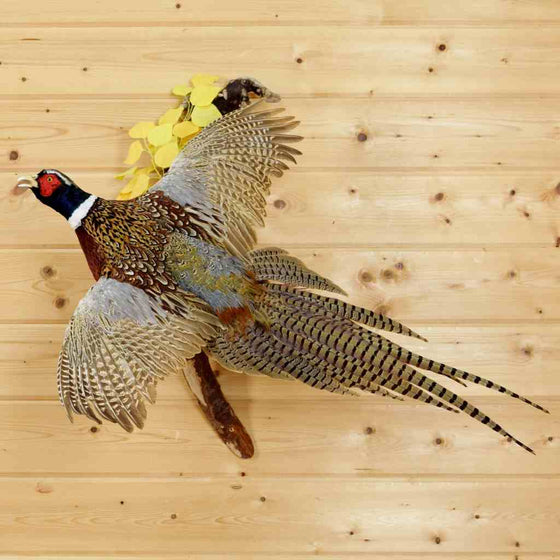 Pheasant Bird Taxidermy
