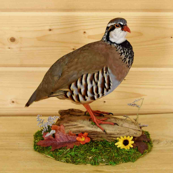 Barbary Partridge Taxidermy Mount