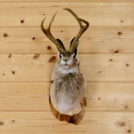 Jackalope Taxidermy Mount