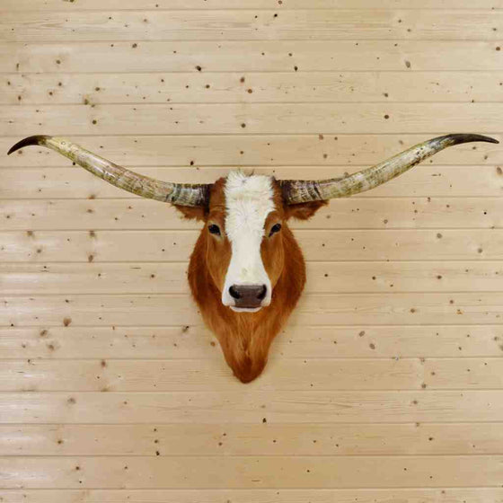 Texas Longhorn Steer Taxidermy for Sale