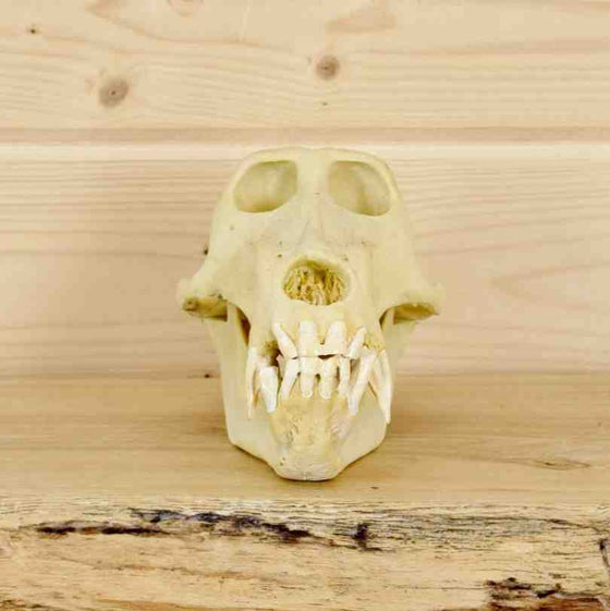 Baboon skull for Sale at Safariworks Taxidermy Sales