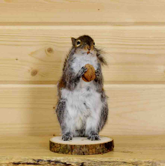 Squirrel Holding Nut Taxidermy Mount
