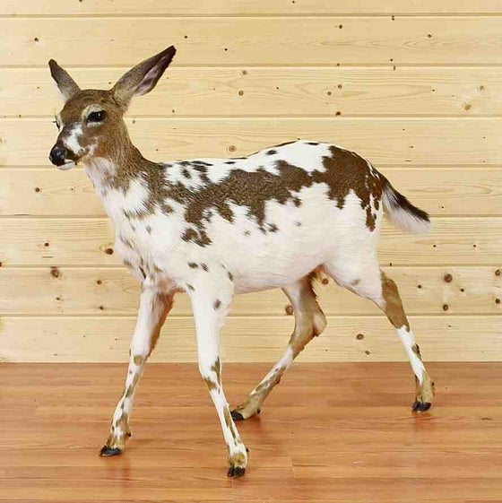 Piebald White-tailed Deer taxidermy