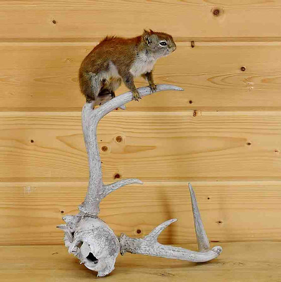 Pine Squirrel Taxidermy Mount