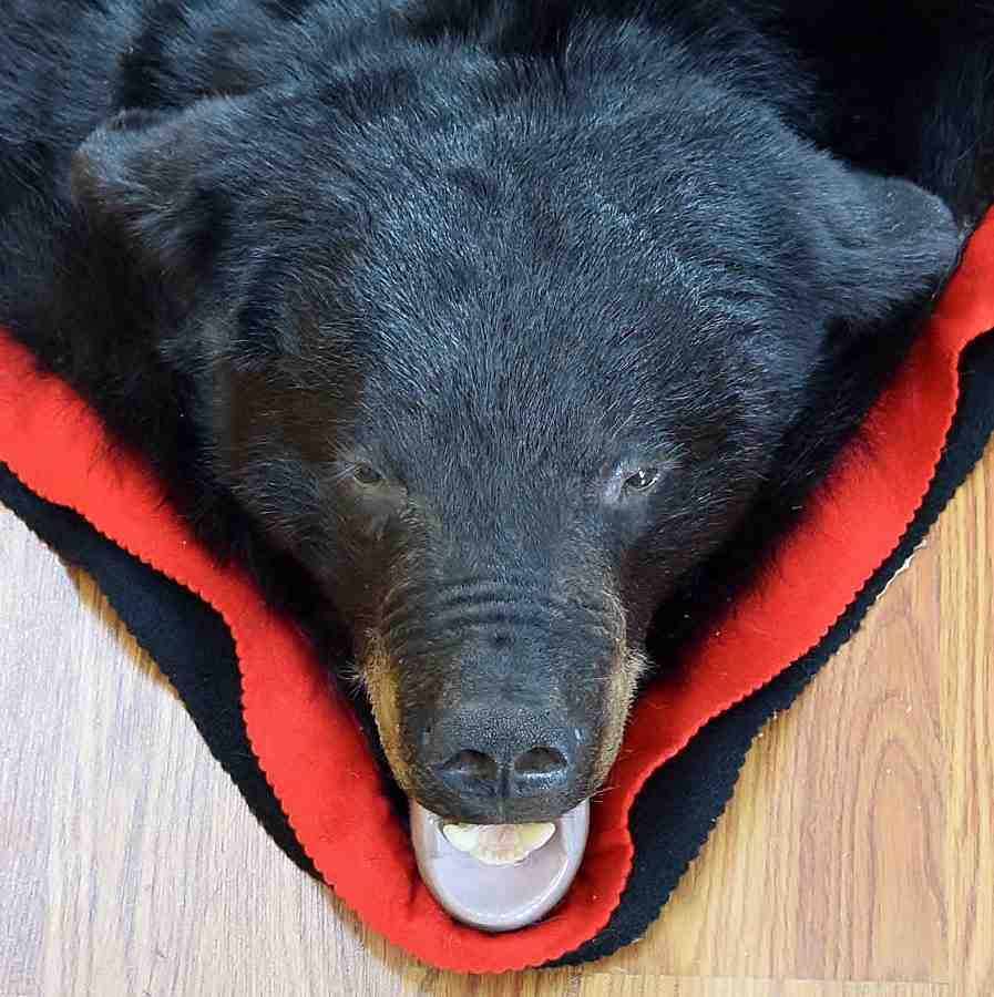 Black Bear Rug In7003 For Sale From Safariworks