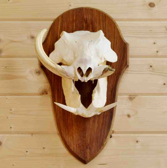 Warthog Skull Taxidermy for Sale
