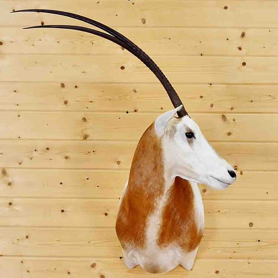 Scimitar horned oryx taxidermy mount