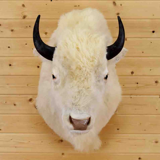 White Bison Taxidermy Mount