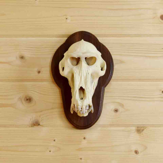 Baboon Skull for Sale at Safariworks