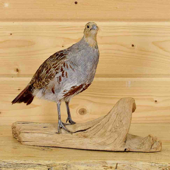 Hungarian Partridge Taxidermy