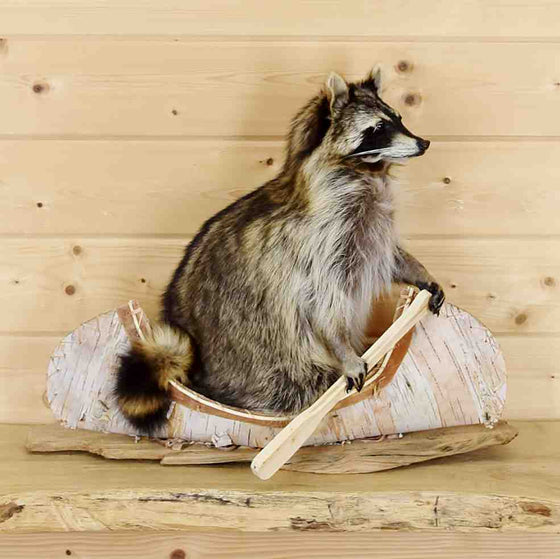 Raccoon in Canoe