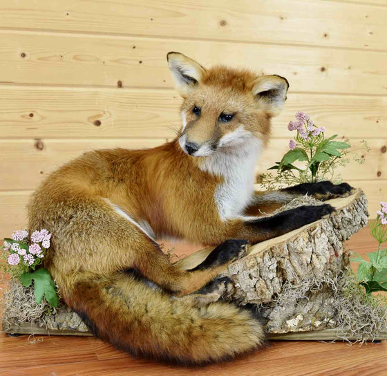 Red Fox Taxidermy for Sale