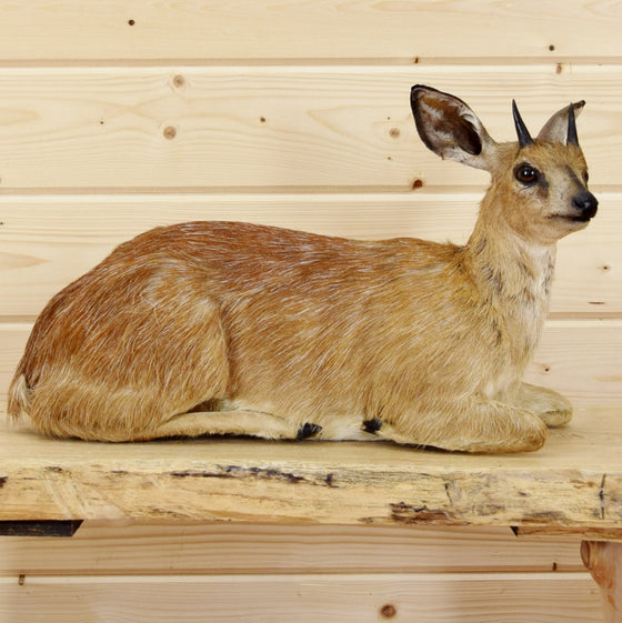 Grysbok Taxidermy Mount