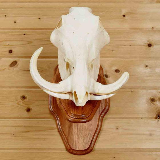 African Warthog European Skull Mount for Sale