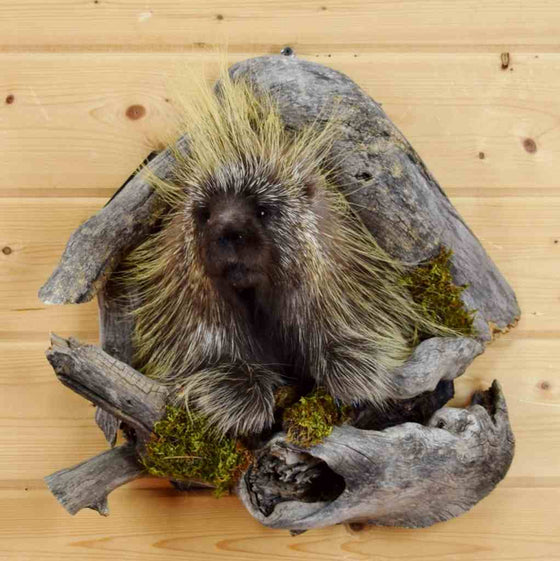 Mounted Porcupine for Sale