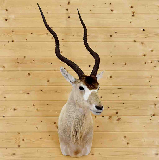 Addax Taxidermy Mount for Sale