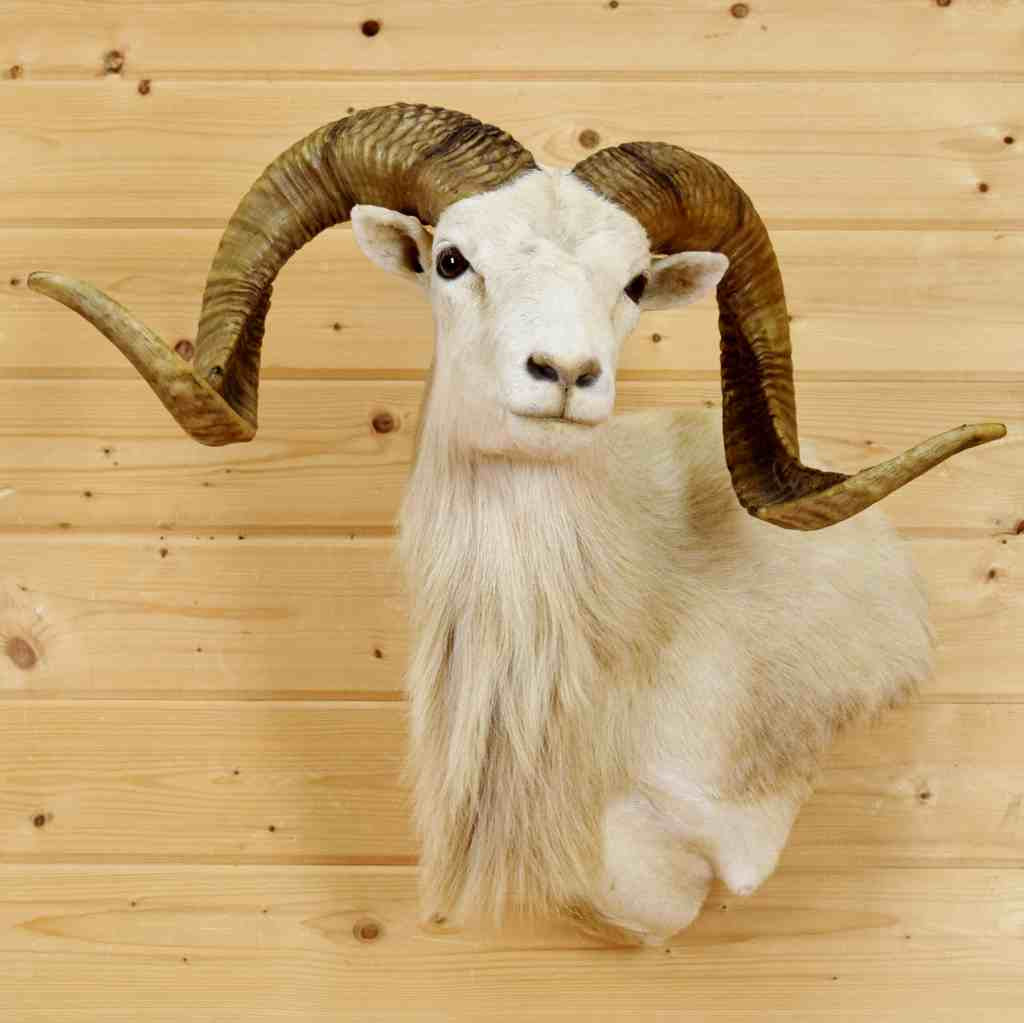 Texas Dall Sheep Taxidermy Mount Sw6570 For Sale At