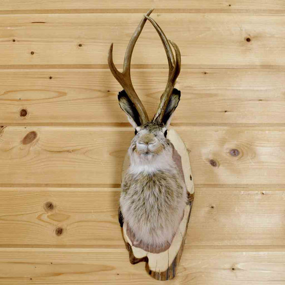 Jackalope Novelty Taxidermy Mount for Sale