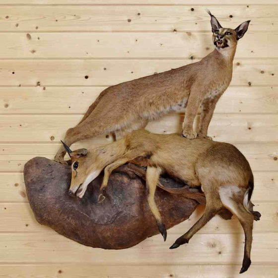 Caracal with Duiker Taxidermy Mount