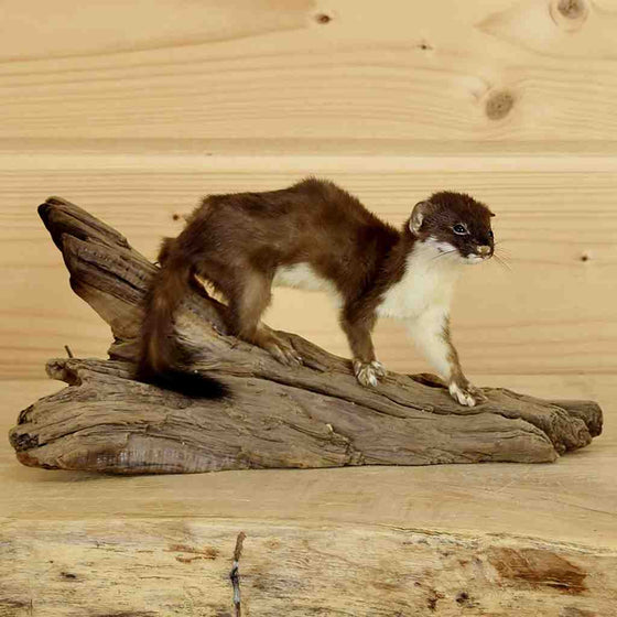 Ermine Taxidermy Mount