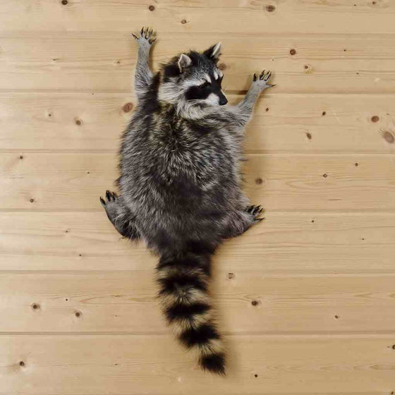 wall climbing raccoon mount